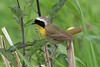 Common Yellowthroat, male, Fernhill Wetlands, Forest Grove, Oregon.