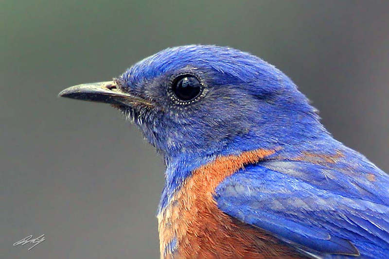 Western Bluebird, male, Cabin Lake, Oregon.