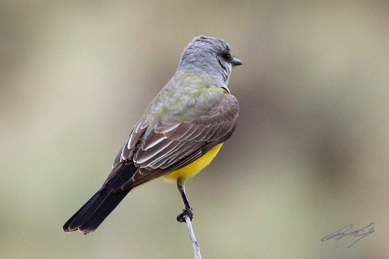 Western Kingbird, Black Mesa Nature Preserve, Oklahoma.