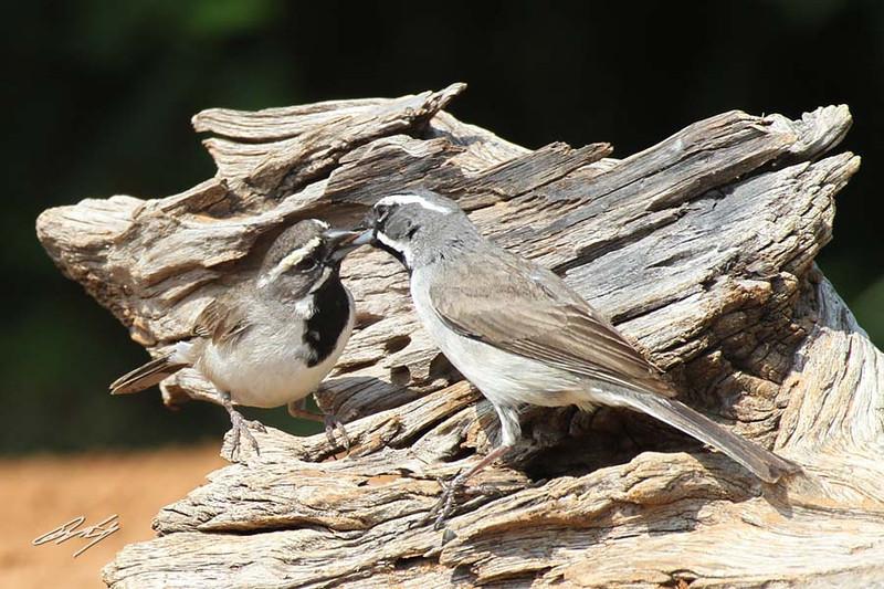 Black-throated Sparrow, Santa Clara Ranch, McCook, Texas.