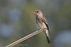 Western Wood-Pewee, Green Road, Newport, Washington.
