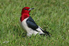 Red-headed Woodpecker, City Park, Broken Bow, Oklahoma.