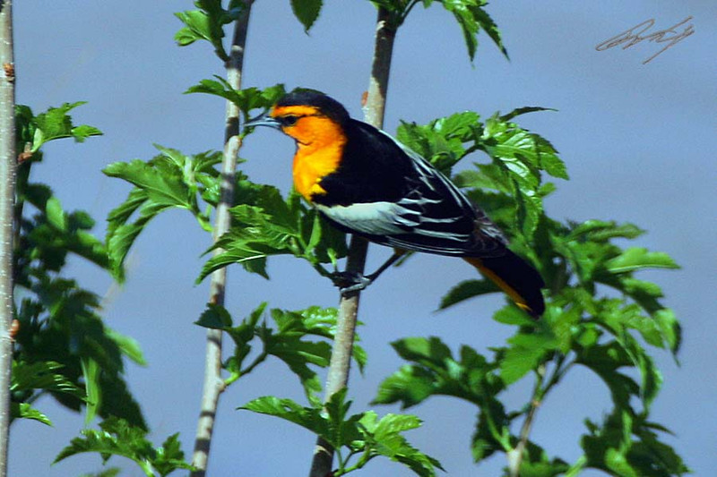 Bullock's Oriole, male, Green River, Utah.