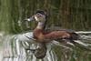 Ring-necked Duck, female, Ridgefield NWR, Ridgefield, Washington.