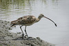 Long-billed Curlew, Tijuana River National Estuary, Imperial Beach, California.