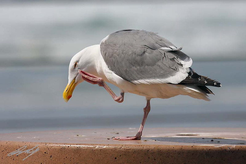 Western Gull, Northern sub-sp, Nye Beach, Newport, Oregon.