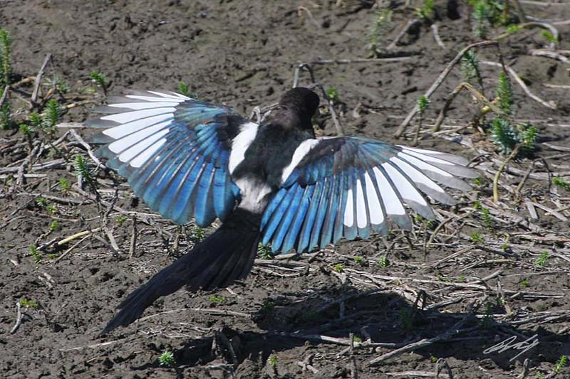 Black-billed Magpie, Malheur NWR, Burns, Oregon.