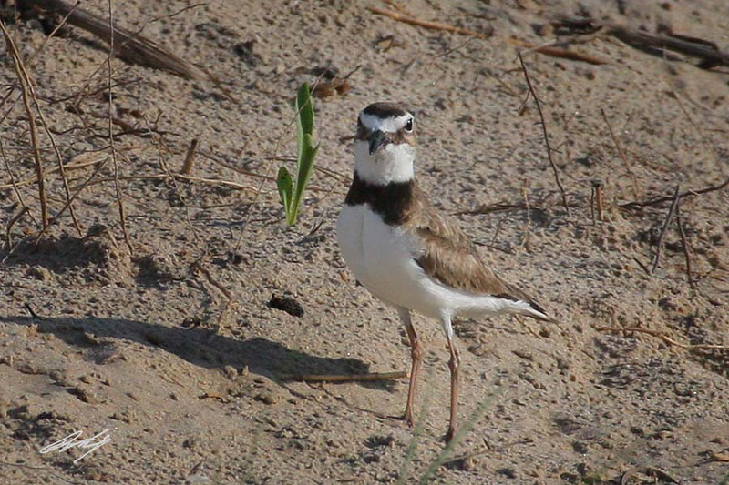 Wilson's Plover, South Padre Island Birding and Nature Center, Texas.