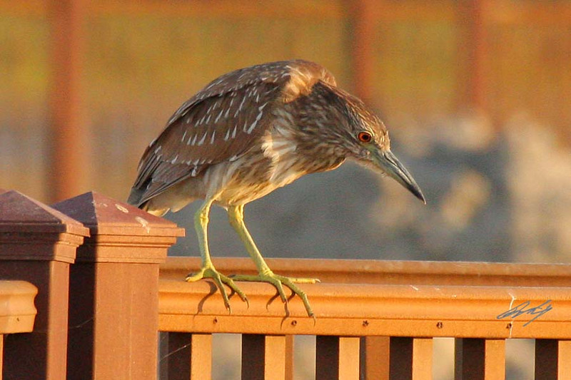 Black-crowned Night-Heron, juvenile, South Padre Island Birding and Nature Center, Texas.