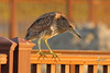 Black-crowned Night-Heron, juvenile, South Padre Island Birding and Nature Center, Texas.