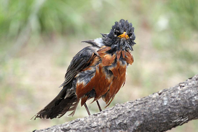 American Robin looking grumpy after his bath. Cabin Lake, Oregon.