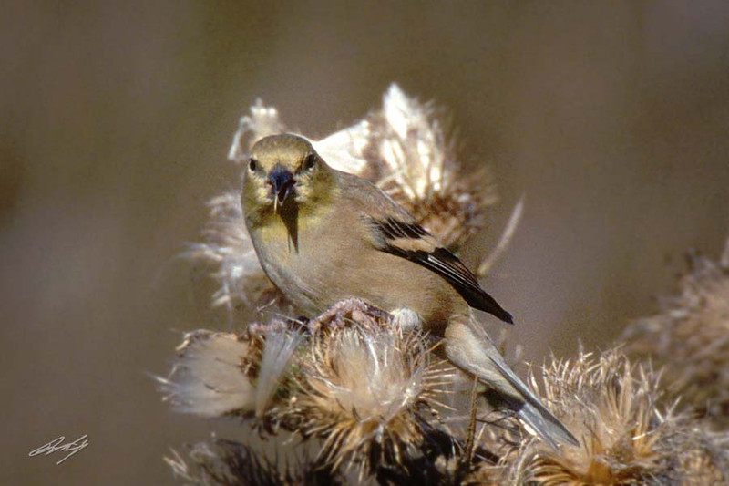 American Goldfinch, female, Humboldt Bay NWR, California.