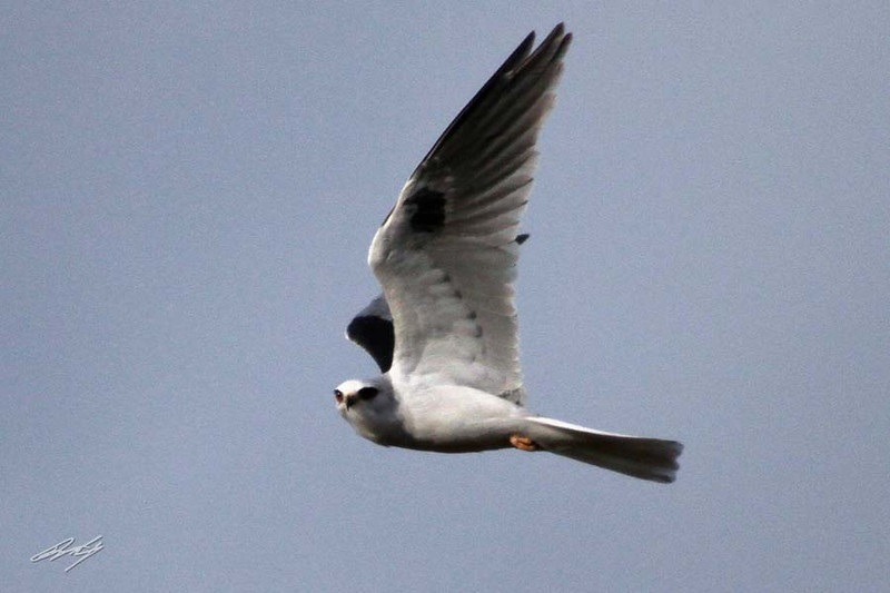 White-tailed Kite, Arcata, California.
