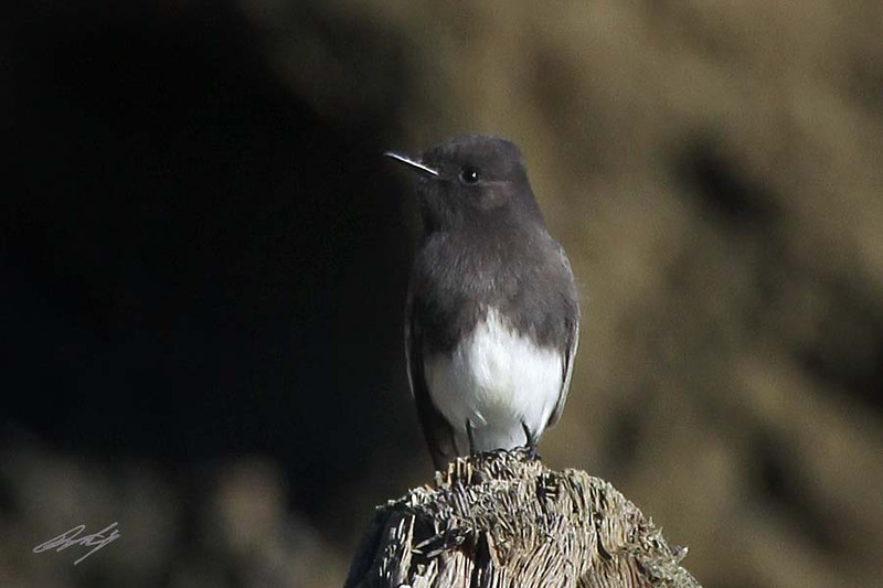Black Phoebe, South Cove, Cape Arago, Oregon.