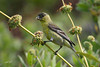Lesser Goldfinch, Rancho Santa Ana Botanical Gardens, Claremont, California.
