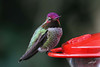 Anna's Hummingbird, male, Portland, Oregon.