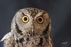 Western Screech-Owl, High Desert Museum, Bend, Oregon. Injured captive.