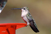 Costa's Hummingbird, Nature Conservancy, Ramsey Canyon, Arizona.