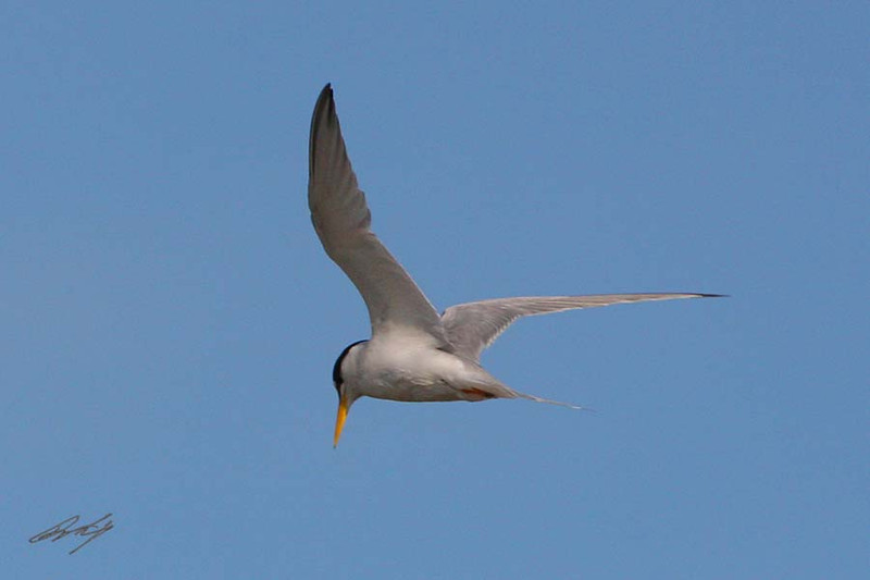 Least Tern, South Padre Island Birding and Nature Center, Texas.