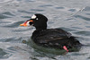 Surf Scoter, male, Tokeland Point, Tokeland, Washington.