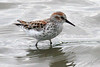 Western Sandpiper, Fernhill Wetlands, Forest Grove, Oregon.