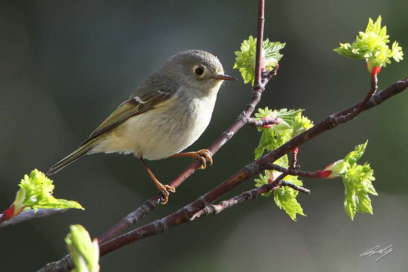 Ruby-crowned Kinglet, Mazama, Washington.