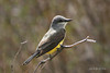 Cassin's Kingbird, Hart Lake, Plush, Oregon.