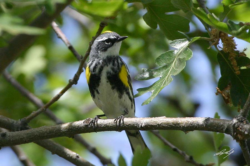 Yellow-rumped Warbler, Myrtle, male, Fort Simcoe State Park, White Swan, Washington.