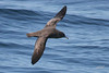 Sooty Shearwater, Pacific Ocean SW of Newport, Oregon.