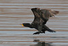 Double-crested Cormorant, Bill Williams River NWR, Havasu Springs, Arizona.
