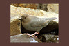 American Dipper, Hurricane Creek, Enterprise, Oregon.