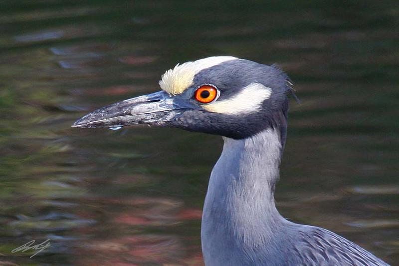 Yellow-crowned Night-Heron, Fulton, Texas.