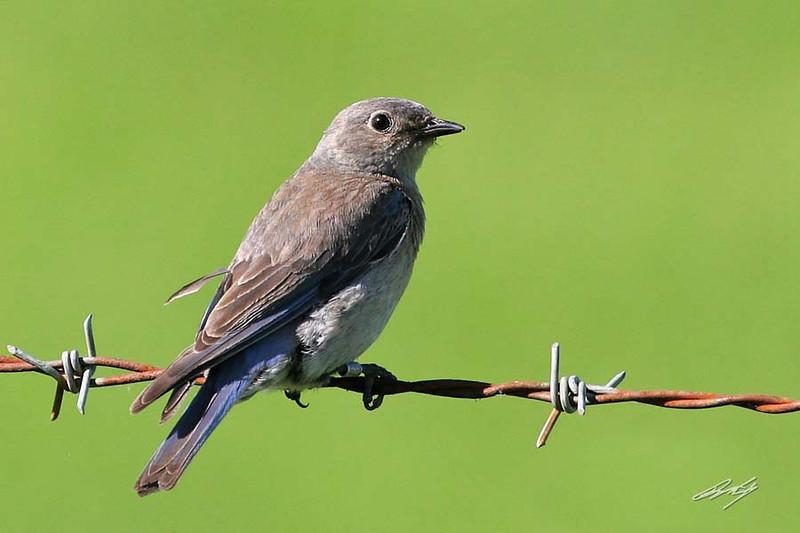 Western Bluebird, female, Champoeg State Park, Champoeg, Oregon.