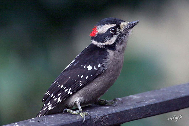 Downy Woodpecker, male, Portland, Oregon.
