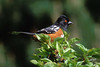 Spotted Towhee, West Linn, Oregon.
