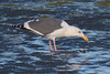 Herring Gull, Yaquina Bay, Newport, Oregon.