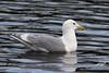 Glaucous-winged Gull, Westmoreland Park. Portland, Oregon.