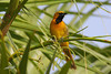 Hooded Oriole, male, I-77 Rest Stop, near Armstrong, Texas.
