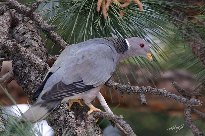 Band-tailed Pigeon, Mt. Baldy, California.