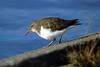 Spotted Sandpiper, non-breeding, Westmoreland Park, Portland, Oregon.