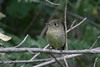 Pacific-slope Flycatcher, Andrew Molera State Park, Big Sur, California.