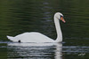 Mute Swan, Bay City State Recreation Area, Bay City, Michigan.