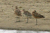 Bar-tailed Godwit (center), Tokeland Beach, Tokeland, Washington.