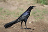 Great-tailed Grackle, male, Weaver Cattle Company, Raymondville, Texas.
