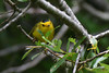 Wilson's Warbler, male, Andrew Molera State Park, Big Sur, California.