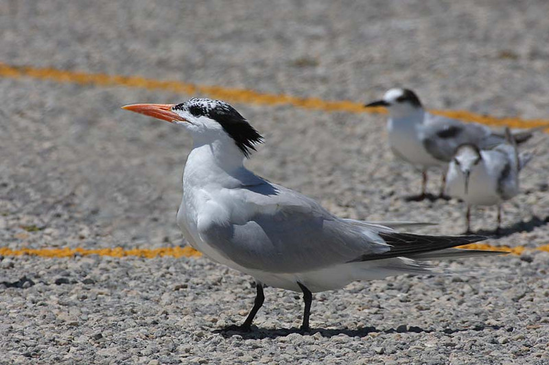 Royal Tern, Padre Island National Seashore, Texas.