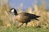 Cackling Goose (Cackling sub-sp), Ridgefield NWR, Washington.