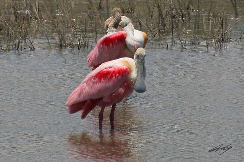 Roseate Spoonbill, Laguna Atascosa NWR, Texas.