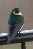 Violet-green Swallow, Winthrop, Washington.