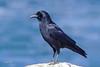 American Crow, Cyprus Point, Pebble Beach, California.
